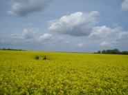 strahlend gelbe Rapsfelder